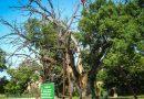 най-старите дървета в България